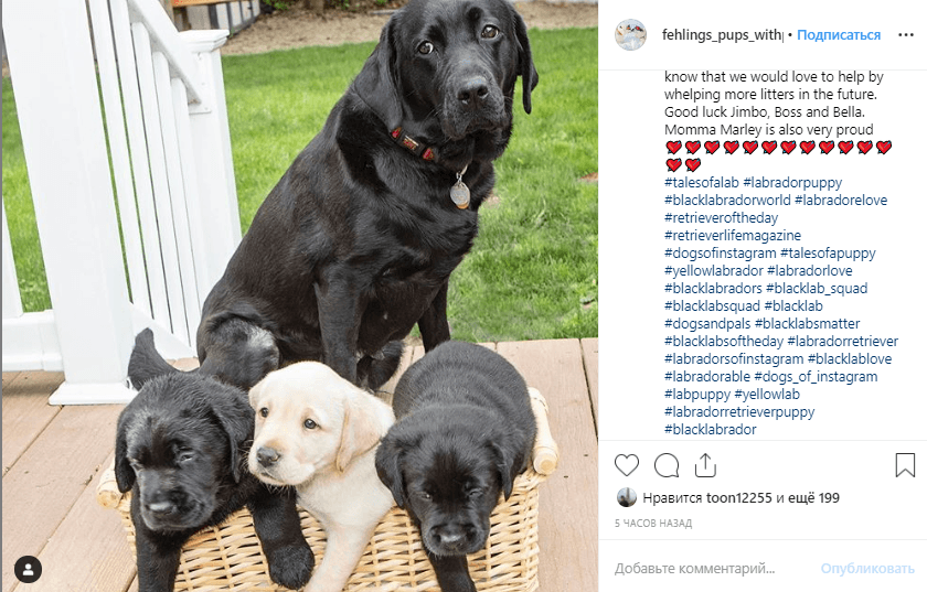 Black labrador with puppies